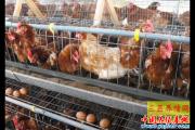 养殖户切记不可给蛋鸡直接换料  养殖户必须知道的蛋鸡换料常识