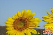 每日一招:向日葵壳粉养鹅法