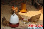 发酵床养土鸡的越冬方法