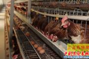蛋鸡饲喂忌长期用粉料  粉料饲喂蛋鸡影响产量