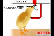 蛋雏鸡1日龄乳头饮水问题分析