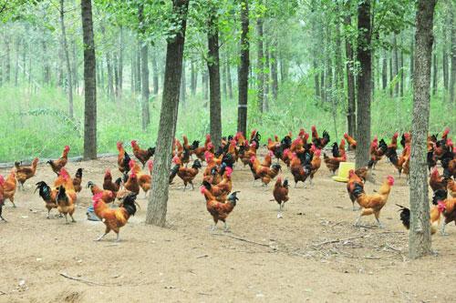 林下养鸡技术方案,林地养鸡技术要点