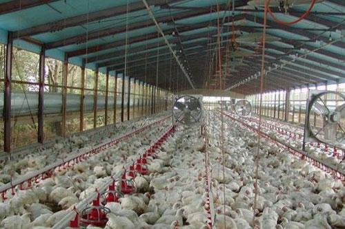 新式养鸡大棚的结构与功能,新式养鸡大棚的设计