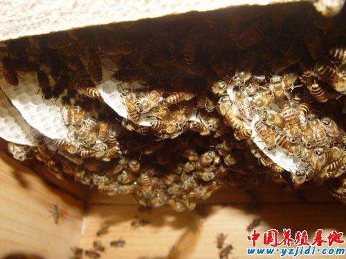 笼蜂的饲养方式