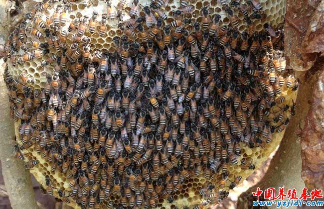 春天蜜蜂的繁殖技术