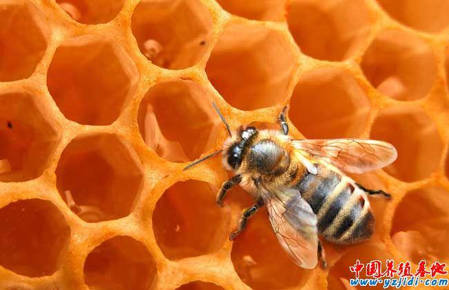 蜜蜂的生物天敌胡蜂的防治