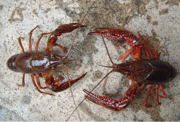 喇蛄和小龙虾的区别