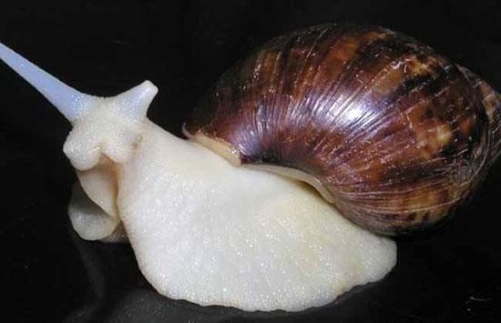 白玉蜗牛的养殖技术