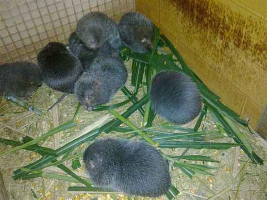 为什么这么多人养竹鼠?竹鼠养殖出来了有人回收吗?