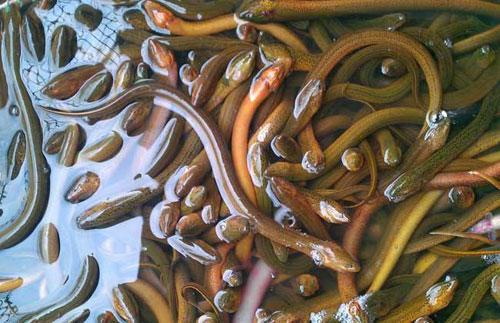 大棚黄鳝养殖技术