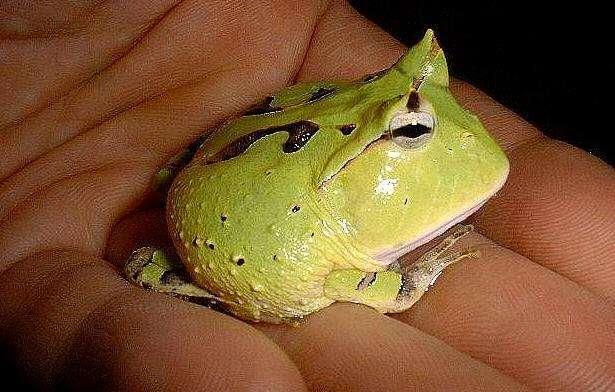 角蛙吃什么食物?角蛙的饲喂方法