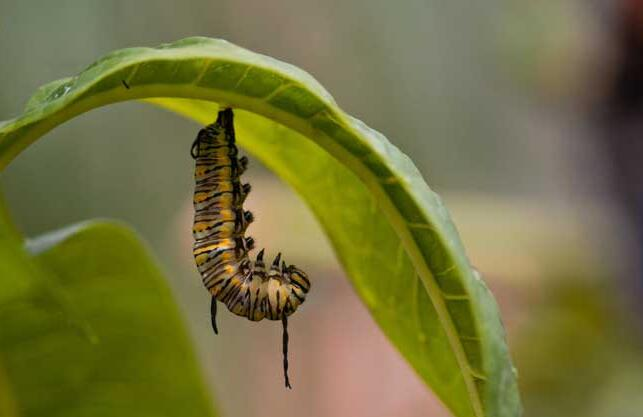 蝴蝶一生的成长过程 蝴蝶一生经历哪几个阶段?