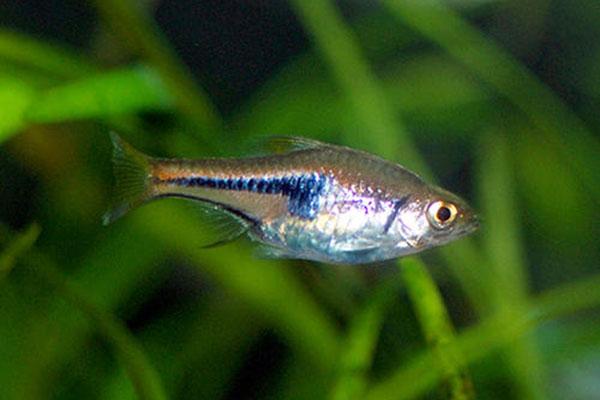 蓝三角灯鱼介绍,蓝三角灯鱼特种习性