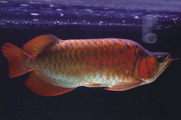 紫艳红龙鱼有哪些种类?
