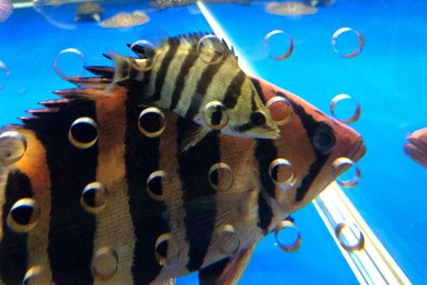 银虎鱼(六间虎)的形态特征,疾病预防