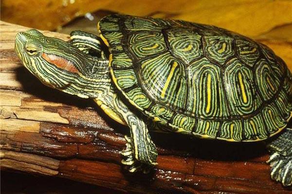 巴西乌龟怎么养?