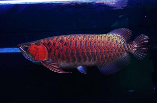 红龙鱼的品种和图片