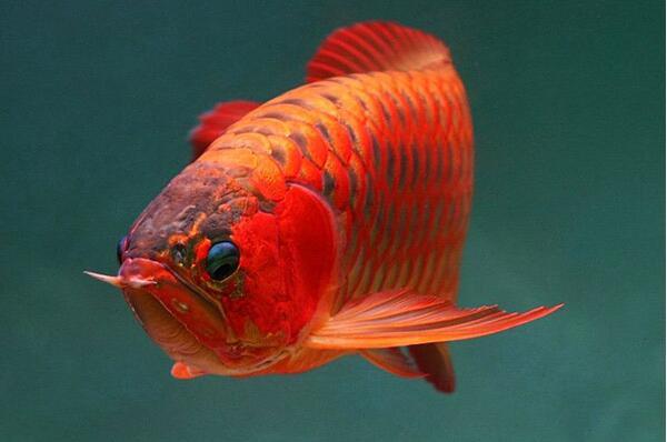 红龙鱼兜嘴的原因