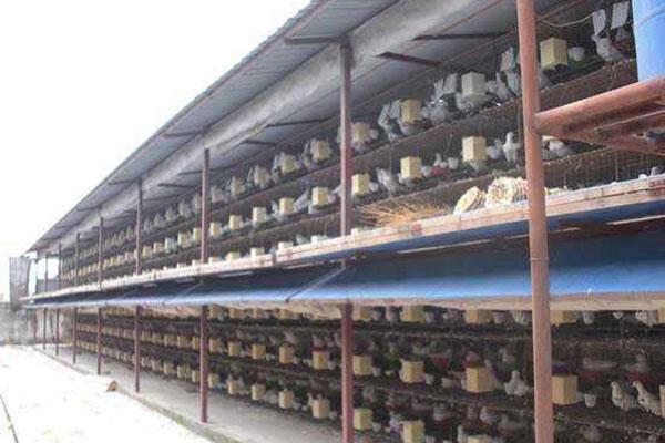 鸽子养殖大棚的设计与管理