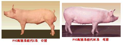 PIC配套系猪