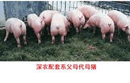 深农配套系猪