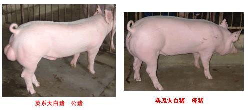 英系大白猪
