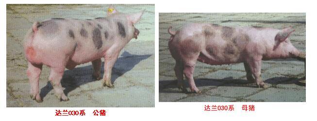 达兰配套系猪