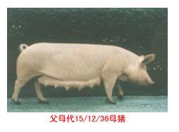 斯格配套系猪