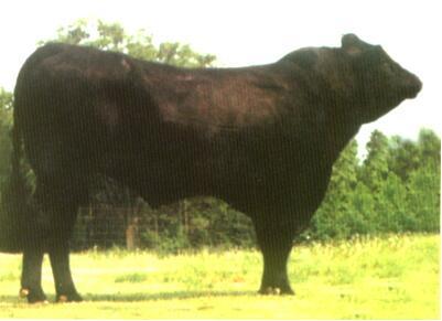 西门塔尔牛(公、黑色)