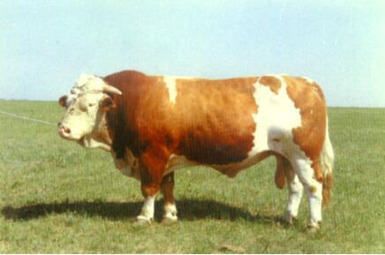 西门塔尔牛(公、黄白花、白头)