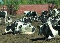 中国荷斯坦牛的乳脂率,培育历史等介绍