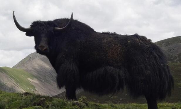 九龙牦牛产区体型外貌介绍