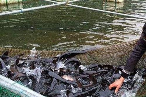 鸭嘴鱼怎么养殖?鸭嘴鱼养殖技术