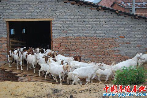 提高夏洛莱种公羊初次配种成功率的探讨