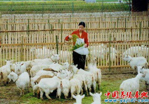 秋季是羊的最佳配种季节