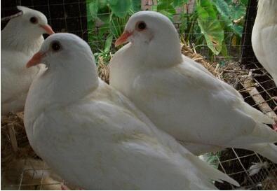 养鸽结核病如何防治