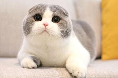 同一只折耳猫生的小猫可以交配吗?