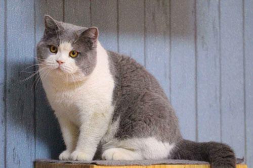折耳立和英短(英国短毛猫)的区别