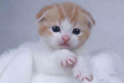 如何分辨折耳猫幼猫?怎么判断折耳猫?