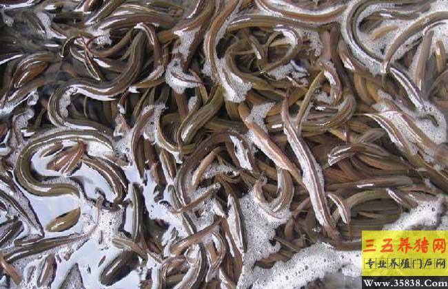 黄鳝有寄生虫吗