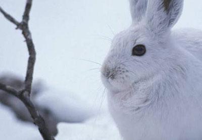 养家兔不可多喂粮