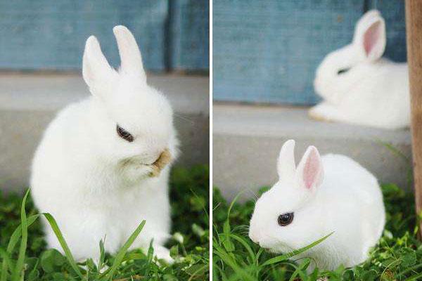 7种热门宠物兔类型详细介绍,荷兰侏儒兔