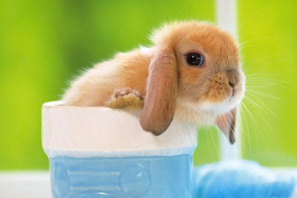 7种热门宠物兔类型详细介绍,荷兰垂耳兔(Holland Lop)