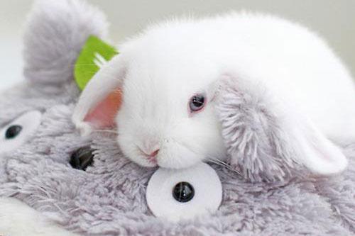 荷兰垂耳兔的寿命是多少年?荷兰垂耳兔能活多少年?