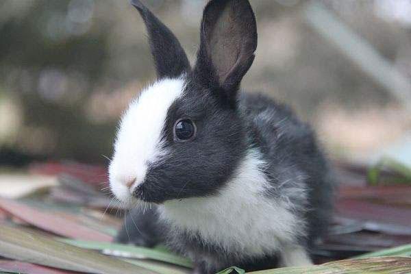 道奇兔(Dutch)
