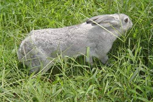 果园饲养兔子的优点以及注意事项
