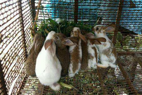 提高兔子繁殖率的方法和注意事项