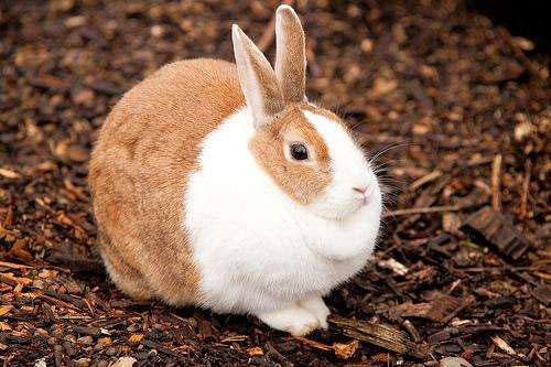 兔子食毛癖传染吗?食毛症有什么危害?该如何预防治疗?
