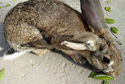 母兔排卵天数,喂什么药可以让母兔排卵?