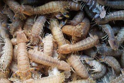 皮皮虾怎么养殖?皮皮虾养殖技术